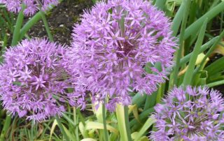 naturheil lila blume